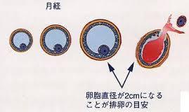 卵胞.jpg